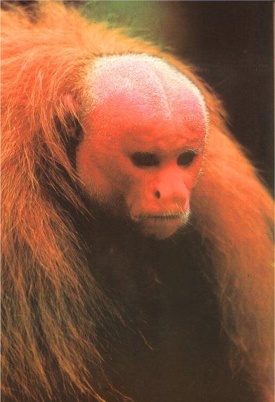 Анальная обезьянка